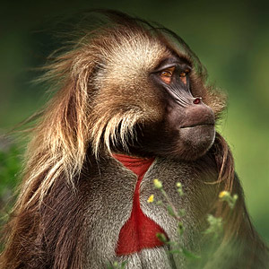A Gelada Baboon, found only in the highlands of Ethiopia.