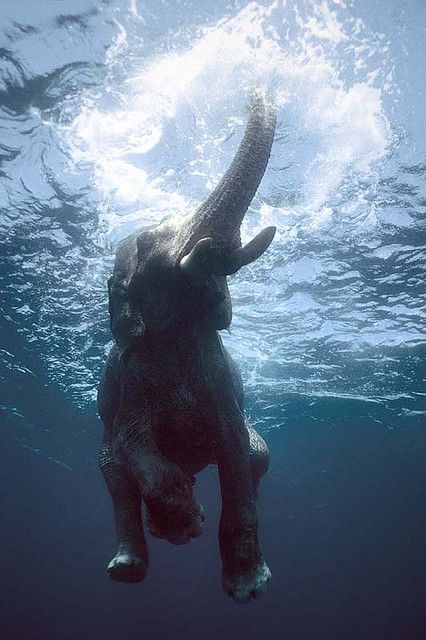 An Indian elephant goes for a swim in the Bay of Bengal.